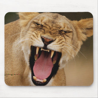 Lioness (Panthera Leo) Growling With Cub Mouse Pad