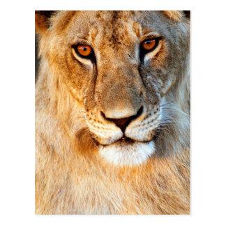 Lioness (Panthera Leo) Portrait. Tarangire Postcard