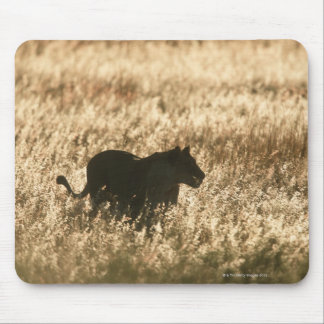 Lioness (Panthera leo) silhouetted in long grass Mouse Pad