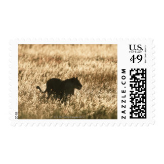 Lioness (Panthera leo) silhouetted in long grass Postage Stamp