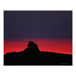 Lioness (Panthera leo) sitting, at sunset, Masai Poster