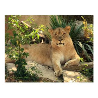 Lioness Postcard
