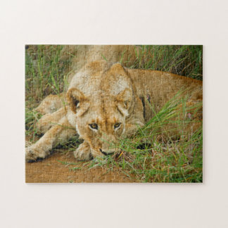 Lioness Resting in grass Jigsaw Puzzle