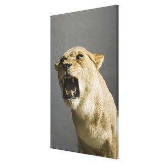 Lioness roaring 2 canvas print