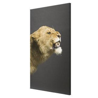 Lioness roaring canvas print
