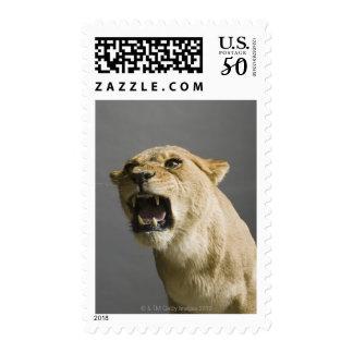 Lioness roaring postage