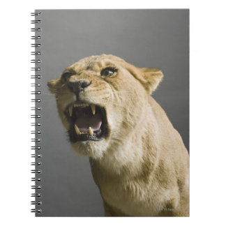 Lioness roaring spiral notebook