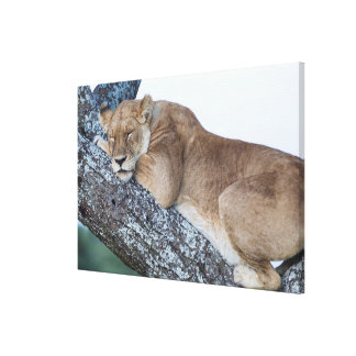 Lioness Sleeping in Tree Canvas Print