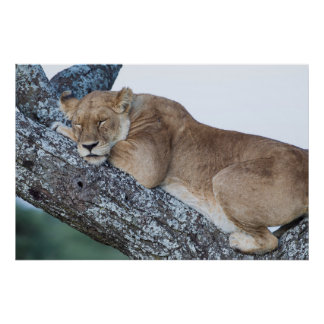 Lioness Sleeping in Tree Poster