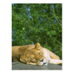 Lioness Sleeping On Rock Postcards