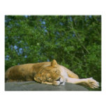 Lioness Sleeping On Rock Posters