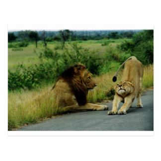 Lioness Stretch Postcard