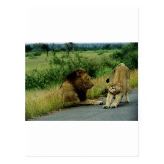 Lioness Stretch Post Card