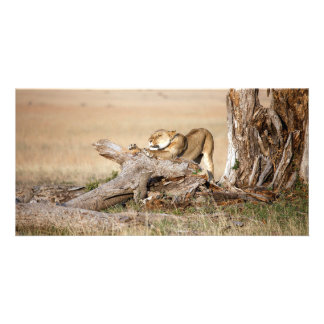 Lioness stretching card