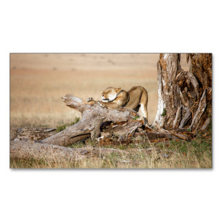Lioness stretching magnetic business card