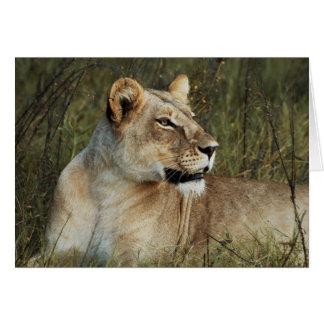 Lioness - wildlife safari greeting cards