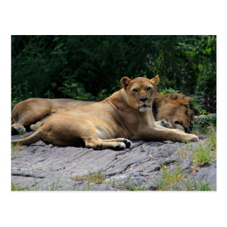 Lioness with Sleeping Lion Photo Postcard