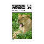 lioness yawn2 stamp