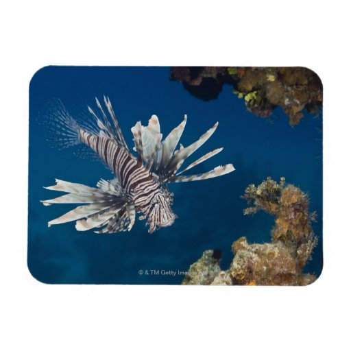 Lionfish (Pterois volitans) swimming over Magnets