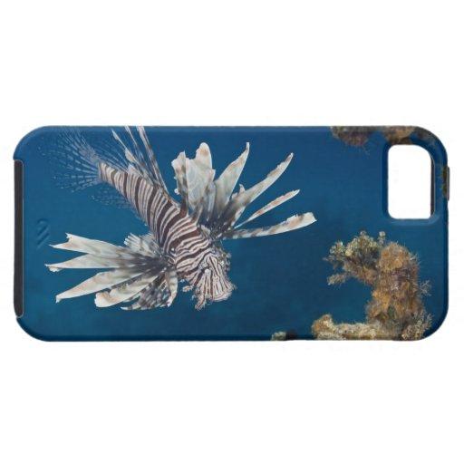 Lionfish (volitans del Pterois) que nada encima iPhone 5 Fundas