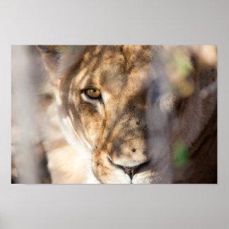 Lion's Eye Print