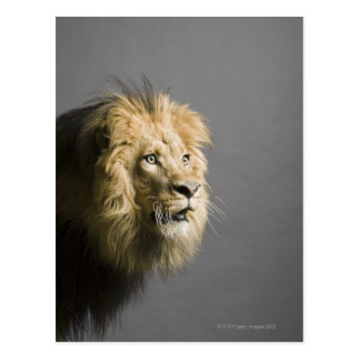 Lion's face post cards