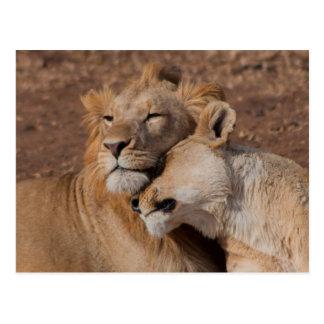 Lions in Love Postcard