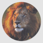 Lions in the Wild Gifts and Tees Stickers