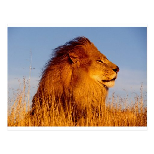 Lions in the Wild Tees, Cards and GIfts Postcards