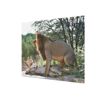 lions mating, Panthera leo, Kgalagadi Canvas Print
