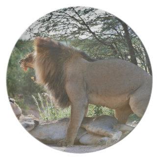lions mating, Panthera leo, Kgalagadi Melamine Plate
