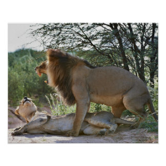 lions mating, Panthera leo, Kgalagadi Poster