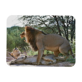 lions mating, Panthera leo, Kgalagadi Rectangular Photo Magnet