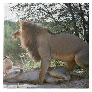 lions mating, Panthera leo, Kgalagadi Large Square Tile