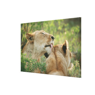 Lions, Panthera leo grooming, South Africa Canvas Print