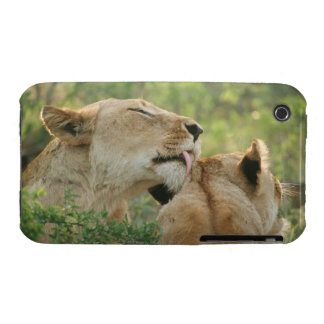 Lions, Panthera leo grooming, South Africa iPhone 3 Case-Mate Cases