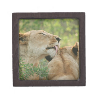Lions, Panthera leo grooming, South Africa Jewelry Box