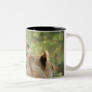 Lions, Panthera leo grooming, South Africa Two-Tone Coffee Mug