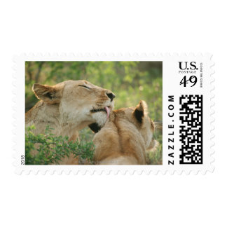 Lions, Panthera leo grooming, South Africa Postage