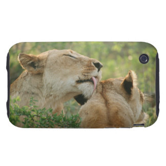 Lions, Panthera leo grooming, South Africa Tough iPhone 3 Covers