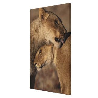 Lions (Panthera leo) pair bonding, Skeleton Canvas Print