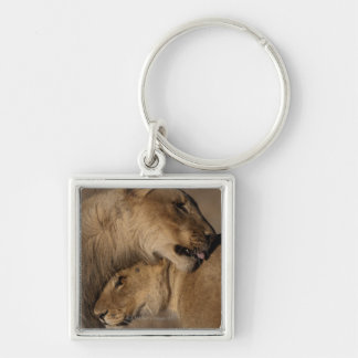 Lions (Panthera leo) pair bonding, Skeleton Keychain
