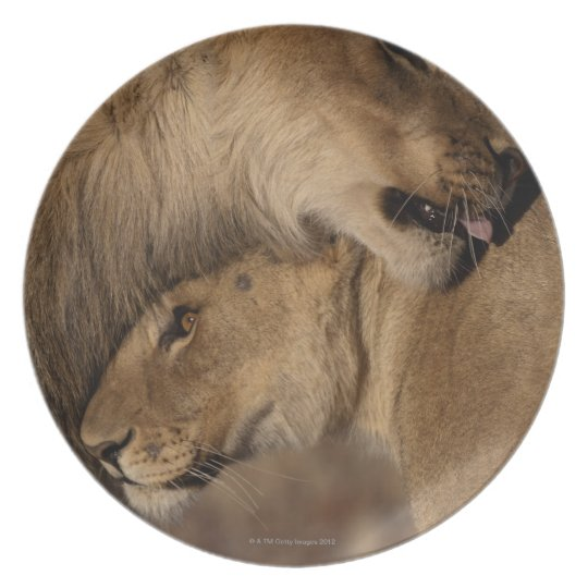 Lions (Panthera leo) pair bonding, Skeleton Melamine Plate