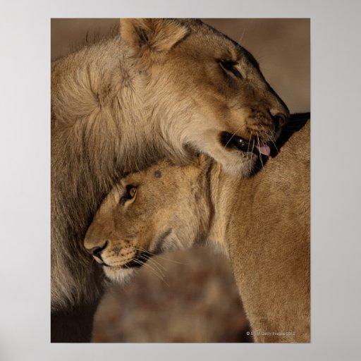 Lions (Panthera leo) pair bonding, Skeleton Poster
