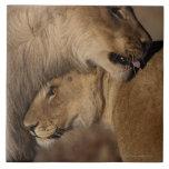 Lions (Panthera leo) pair bonding, Skeleton Tile