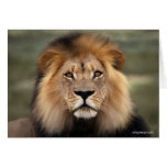 Lions Photograph Greeting Card