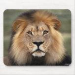 Lions Photograph Mouse Pad