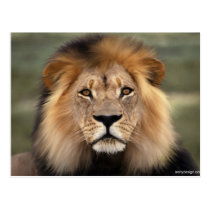 Lions Photograph Postcard