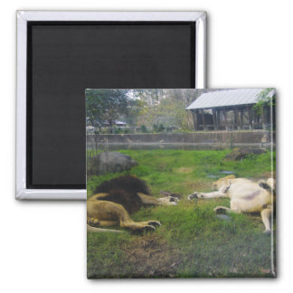 Lions Reaching Out 2 Inch Square Magnet