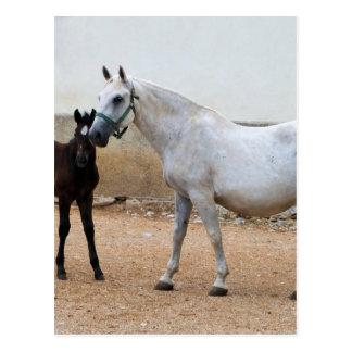 Lipizzan Mare and Foal Postcard